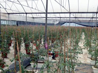 Image of the interior of a large commercial greenhouse